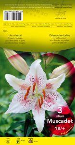 LILIUM SOLUTION blanc et rose Pochette de 3 bulbes