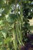HARICOT A RAMES Monte Cristo sachet de 25 g