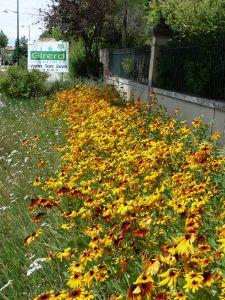 RUDBECKIA HIRTA gloriosa daisies, pqt 25 grammes