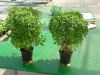 BASILIC fin vert Pqt 100 g