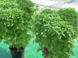 BASILIC fin vert nain compact LATINO Pqt  25 g
