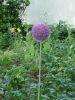 ALLIUM GIGANTEUM 20+ violet/pourpre    Pochette de 1 - code G