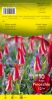 TULIPE GREIGII 12+ Pinocchio rouge et blanc   Pochette de 10 - code E