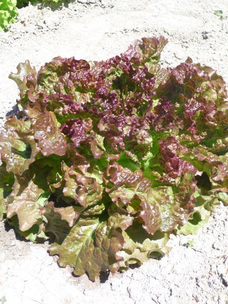 100 graines de laitue Batavia rouge Grenobloise