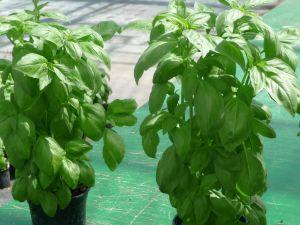 BASILIC grand vert ITALIANO (genovese) Pqt 100 g