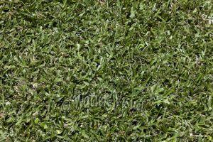 KIKUYU Pennisetum Clandestinum Pqt 500 g