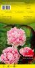 PIVOINE Paeonia Sarah Bernardt rose Pochette - code F